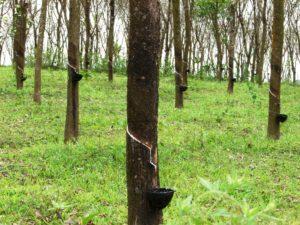 Rubber_trees_in_Kerala,_India